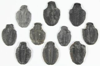 "Buy Wholesale Lot: 1.25 to 1.5"" Elrathia Trilobite Fossils - 10 Pieces - #92137"