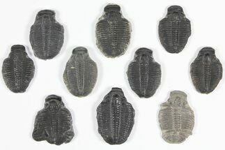 "Wholesale Lot: 1 1/4"" Elrathia Trilobite Molt Fossils - 10 Pieces For Sale, #92138"