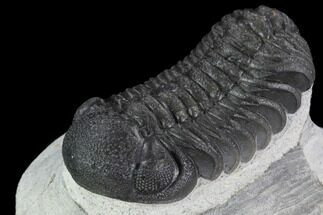 "2"" Detailed Austerops Trilobite - Ofaten, Morocco For Sale, #91922"