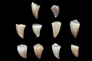"Buy Wholesale Box: 1 to 1.5"" Fossil Mosasaur Teeth - 10 Pieces - #92386"