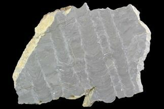 "9.5"" Polished Stromatolite (Kussiella) Slab - Russia For Sale, #91814"