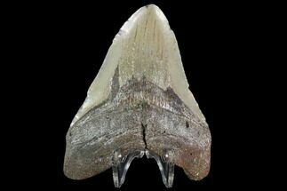 "4.06"" Fossil Megalodon Tooth - North Carolina For Sale, #92441"