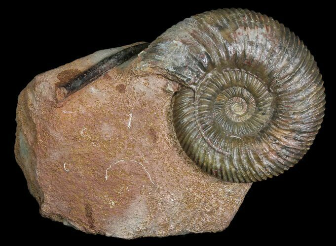 "3.7"" Ammonite (Parkinsonia) With Belemnites - Germany"