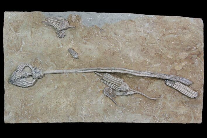 "Spectacular, 12.6"" Crinoid Plate (6 species) - Crawfordsville"
