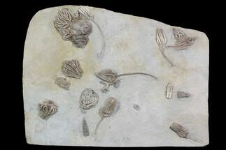 Various - Fossils For Sale - #92529