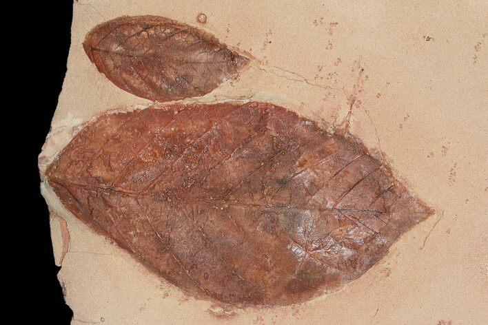 Two Detailed Fossil Leaves (Aesculus & Rhamnites) - Montana