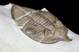 "Buy 2.8"" Huntonia Trilobite - Black Cat Mountain, Oklahoma - #92752"