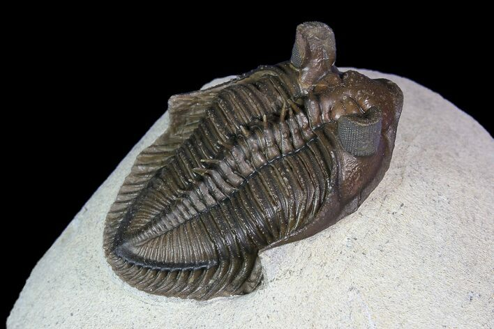 "1.7"" Tower Eyed Erbenochile Trilobite - Top Quality"