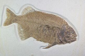 "Buy 15"" Fossil Fish (Phareodus) - Top Quality Specimen - #92866"