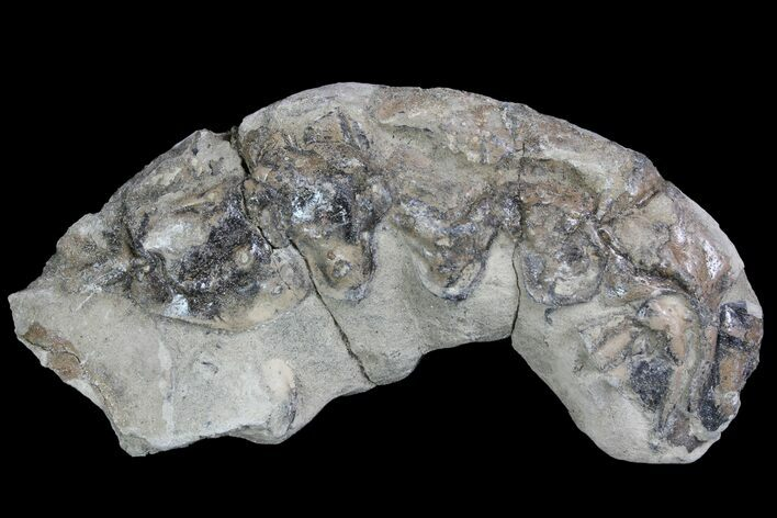 "2.3"" Fossil Lobster (Meyeria) - Cretaceous, Isle of Wight"