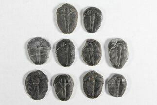 "Buy Wholesale Lot: 3/4"" Elrathia Trilobites - 10 Pieces - #92026"