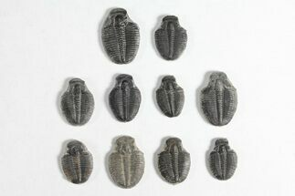Elrathia kingii - Fossils For Sale - #92040