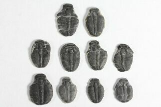Elrathia kingii - Fossils For Sale - #92055