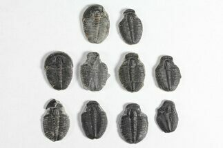"Lot: 3/4"" Elrathia Trilobite Molt Fossils - 10 Pieces For Sale, #92057"