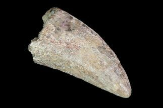 "Robust, 2.7"" Tyrannosaurus Rex Tooth - South Dakota For Sale, #93149"