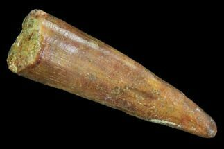 "1.12"" Pterosaur (Coloborhynchus) Tooth - Morocco For Sale, #93173"
