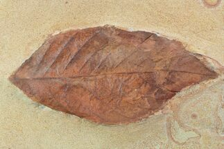 "Buy 3.3"" Red Fossil Leaf (Rhamnites) - Montana - #93661"