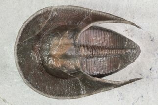 "Buy 1.5"" Recently Described Harpes Trilobite - Jorf, Morocco - #93853"