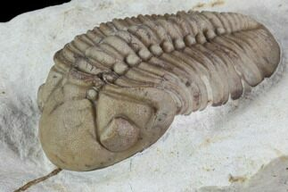 "Buy 1.85"" Lochovella (Reedops) Trilobite - Black Cat Mountain, Oklahoma - #94000"