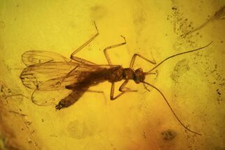 Buy Large, Detailed Fossil Stonefly (Plecoptera) In Baltic Amber - #94087