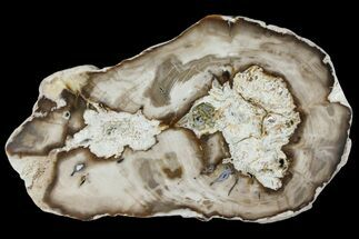 Bald Cypress - Fossils For Sale - #94041