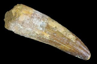 "Buy 2.57"" Spinosaurus Tooth - Real Dinosaur Tooth - #94213"