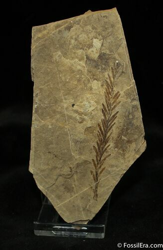 Metasequoia Occidentalis Fossil - Cache Creek