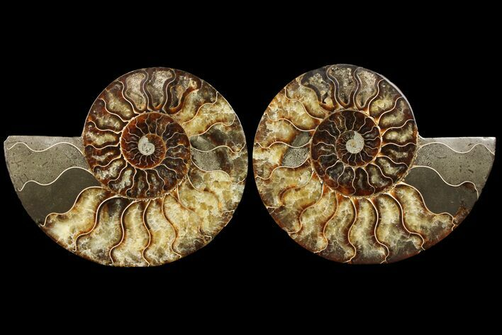 "7.3"" Cut & Polished Ammonite Fossil - Agatized"