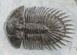 "1.55"" Long-Spined Thysanopeltis Trilobite - Bigaa, Morocco - #94744-5"
