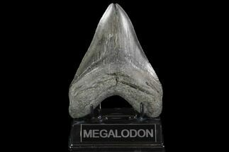 "5.11"" Fossil Megalodon Tooth - South Carolina For Sale, #95300"