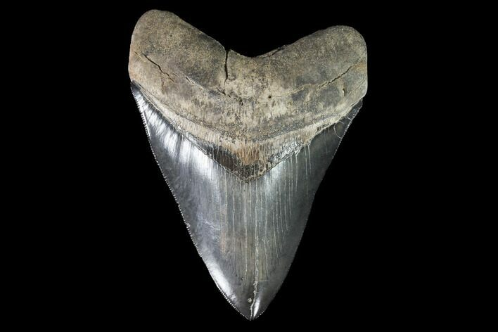 "Serrated, 4.96"" Fossil Megalodon Tooth - Collector Quality Tooth"