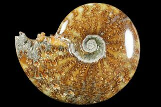 "Buy 4.75""  Polished, Agatized Ammonite (Cleoniceras) - Madagascar - #94246"