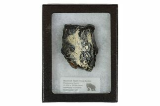 Mammuthus columbi - Fossils For Sale - #95274
