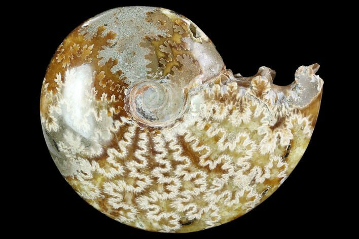 "4.1""  Polished, Agatized Ammonite (Cleoniceras) - Madagascar"