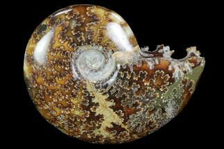 "3.3""  Polished, Agatized Ammonite (Cleoniceras) - Madagascar For Sale, #97307"