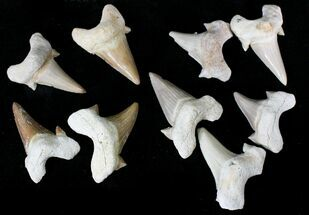 "1 1/2 to 2"" Fossil Otodus Shark Teeth - Khourigba, Morocco For Sale, #97811"