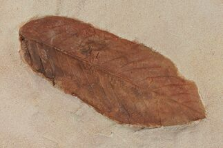 "3.8"" Red Fossil Leaf (Fraxinus) - Montana For Sale, #97733"