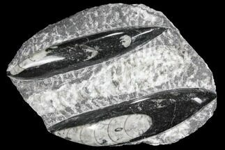 Arionoceratid Nautiloid - Fossils For Sale - #96630