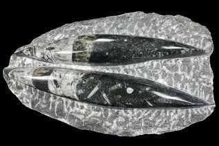 Belemnites & Straight Cephalopods For Sale