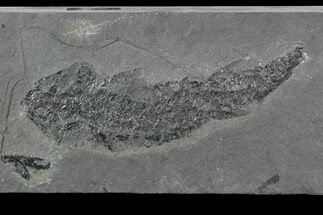 "Buy 5.3"" Devonian Lobed-Fin Fish (Osteolepis) - Scotland - #98044"
