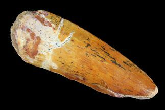 "Buy 1.99"" Spinosaurus Tooth - Real Dinosaur Tooth - #98203"