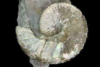 "Buy 1.9"" Iridescent Discoscaphites Ammonite - South Dakota - #98719"