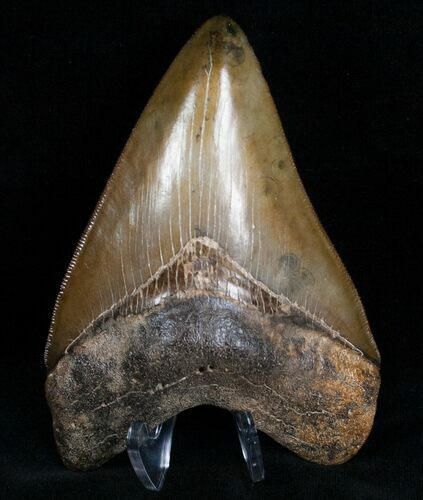 "Gorgeous 4.45"" Megalodon Tooth - Sharp"