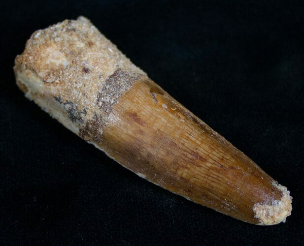 "Well Preserved 2.64"" Long Spinosaurus Tooth"