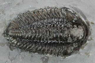 "1.15"" Calymene Niagarensis Trilobite - New York For Sale, #99035"