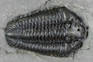 "Buy 1.25"" Calymene Niagarensis Trilobite - New York - #99037"