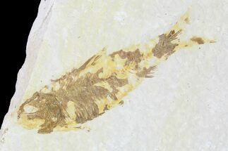 "Buy Bargain, 2.6"" Fossil Fish (Knightia) - Wyoming - #99226"