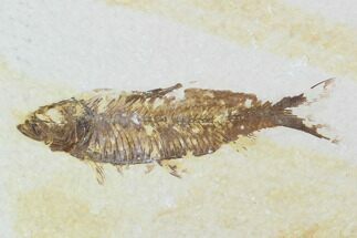 "3.3"" Detailed Fossil Fish (Knightia) - Wyoming For Sale, #99407"