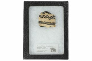 Mammuthus columbi - Fossils For Sale - #99510