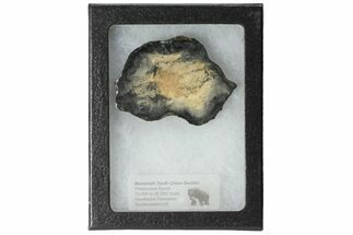Mammuthus columbi - Fossils For Sale - #99519